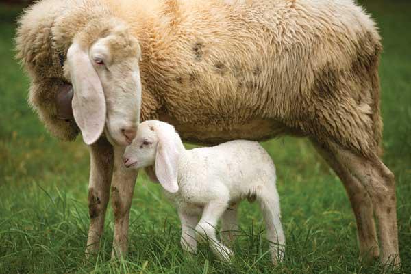 mama-lamb